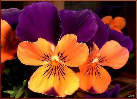 pensee-orange-violet.jpg