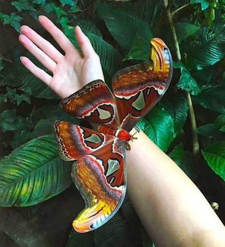 Attacus Atlas.jpg