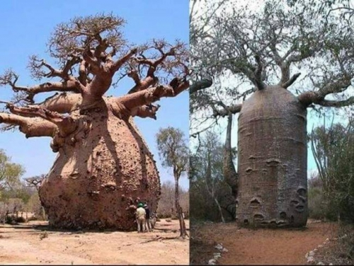 The Baobab Tree can Store up to 32000 Gallon of water in its Trunk.jpg