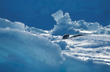 phoque_sur_la_banquise_antarctique.jpg
