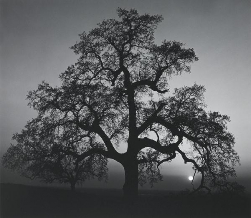 Ansel Adams Oak Tree, Sunset City, Sierra Foothills, California.jpg