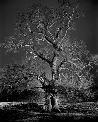 Night oak - by George Wright (1950).jpg